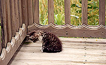 /images/133/1998-07-ohio-cat-bug.jpg - #00094: kitten looking at a moving bug… Akron, Ohio … July 1998 -- Akron, Ohio