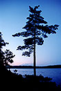 /images/133/1998-09-tema-nip-tree-evening-v.jpg - #00153: evening at Anima Nipissing Lake … Sept 1998 -- Anima Nipissing Lake, Temagami, Ontario.Canada
