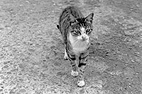 /images/133/1998-12-greece-castle-catbw.jpg - #00196: cat at a castle near Sparti … Dec 1998 -- Sparti, Greece