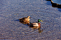 /images/133/1999-03-chicago-ducks1.jpg - #00279: ducks at Lake Michigan … March 1999 -- Chicago, Illinois