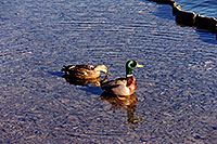 /images/133/1999-03-chicago-ducks2.jpg - #00280: ducks at Lake Michigan … March 1999 -- Chicago, Illinois