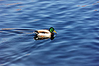 /images/133/1999-03-chicago-ducks3.jpg - #00281: ducks at Lake Michigan … March 1999 -- Chicago, Illinois