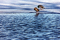 /images/133/1999-03-chicago-ducks6.jpg - #00285: ducks at Lake Michigan … March 1999 -- Chicago, Illinois