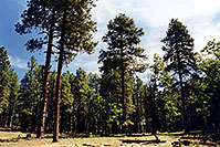 /images/133/2000-08-flagstaff-woods2.jpg - #00551: hiking by Flagstaff … August 2000 -- Flagstaff, Arizona
