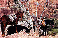 /images/133/2000-08-grand-horses.jpg - #00553: Horses along Bright Angel Trail in Grand Canyon … July 2000 -- Bright Angel Trail, Grand Canyon, Arizona