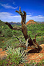 /images/133/2000-08-sedona-dogie-tree-v.jpg - #00588: Dogie Trail in Sycamore Canyon … August 2000 -- Sedona, Arizona