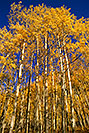 /images/133/2000-09-indep-aspens.jpg - #00657: Aspens of Independence Pass  … Sept 2000 -- Independence Pass, Colorado