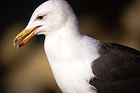 /images/133/2000-11-cali-seagull1.jpg - #00703: Seagull at Dana Point … Nov 2000 -- Dana Point, California