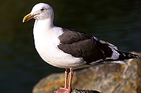 /images/133/2000-11-cali-seagull2.jpg - #00704: Seagull at Dana Point … Nov 2000 -- Dana Point, California