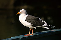 /images/133/2000-11-cali-seagull3.jpg - #00705: Seagull at Dana Point … Nov 2000 -- Dana Point, California