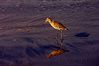 /images/133/2001-02-beach-sandpiper1.jpg - #00759: Marbled Godwit in South Carlsbad … Feb 2001 -- South Carlsbad, California