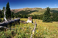 /images/133/2001-07-leadville-meadow-trees.jpg - #00832: morning at 11,500ft … July 2001 -- Chalk Mountain, Leadville, Colorado