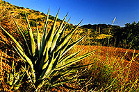 /images/133/2001-09-supersti-reavis1.jpg - 00896: Agave Plant at Reavis Ranch Trail … Sept 2001 -- Reavis Ranch Trail, Superstitions, Arizona