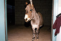 /images/133/2001-11-pablo-door.jpg - #00912: Donkey in Cave Creek … Nov 2001 -- Cave Creek, Arizona