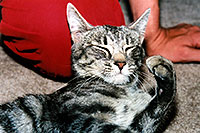 /images/133/2003-05-paravil-cat12.jpg - #01217: The prettiest, friendliest stray cat … May 2003 -- Phoenix, Arizona