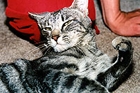 /images/133/2003-05-paravil-cat13.jpg - #01218: The prettiest, friendliest stray cat … May 2003 -- Phoenix, Arizona