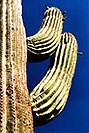 /images/133/2003-06-saguaro-cactus1-v.jpg - #01220: Saguaro cactus by Saguaro Lake … June 2003 -- Saguaro Lake, Arizona