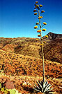 /images/133/2003-06-supersti-view3-v.jpg - #01249: Agave Plant in Superstition Mountains … June 2003 -- Reavis Ranch Trail, Superstitions, Arizona