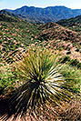 /images/133/2003-06-supersti-view5-v.jpg - #01251: Desert Spoon in Superstition Mountains … June 2003 -- Reavis Ranch Trail, Superstitions, Arizona
