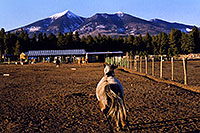 /images/133/2003-08-humphreys-view5.jpg - #01290: horses near Snowbowl, with Humphrey