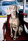 /images/133/2003-12-billy-tara-chair-v.jpg - 01367: Tara (Weimaraner) in Littleton … Dec 2003 -- Littleton, Colorado