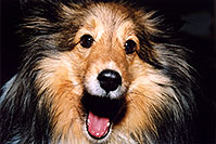 /images/133/2004-04-boulder-sheltie1.jpg - #01420: (Sheltie) in Boulder … April 2004 -- Boulder, Colorado