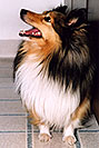 /images/133/2004-04-boulder-sheltie2-v.jpg - #01421: (Sheltie) in Boulder … April 2004 -- Boulder, Colorado