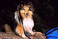 /images/133/2004-04-boulder-sheltie3.jpg - #01422: (Sheltie) in Boulder … April 2004 -- Boulder, Colorado