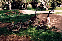 /images/133/2004-06-englewood-geese-fa1.jpg - #01515: Geese family in Englewood … normally there is 6 kids, here it is 7 … June 2004 -- Englewood, Colorado