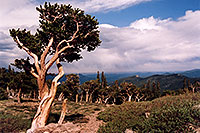 /images/133/2004-06-mtevans-bottom-tree.jpg - #01532: Bristlecone Pine trees - they are hundreds of years old, oldest here are 1,700 years old … near start of Mt Evans road … June 2004 -- Mount Evans Road, Mt Evans, Colorado