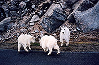 /images/133/2004-06-mtevans-goats-playing.jpg - #01543: young Mountain Goats playing as mother keeps watch … June 2004 -- Mount Evans Road, Mt Evans, Colorado