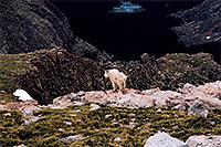 /images/133/2004-06-mtevans-goats1.jpg - #01537: Mountain Goat view down Mt Evans … June 2004 -- Mt Evans, Colorado