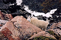 /images/133/2004-06-mtevans-goats3.jpg - #01539: Mountain Goats at Mt Evans … June 2004 -- Mt Evans, Colorado