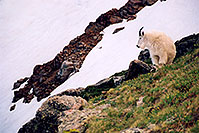 /images/133/2004-06-mtevans-goats5.jpg - #01541: Mountain Goats at Mt Evans … June 2004 -- Mt Evans, Colorado
