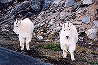 /images/133/2004-06-mtevans-goats6.jpg - #01541: Mountain Goats at Mt Evans … June 2004 -- Mount Evans Road, Mt Evans, Colorado