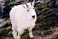 /images/133/2004-06-mtevans-goats7.jpg - #01543: Mountain Goats at Mt Evans … June 2004 -- Mt Evans, Colorado