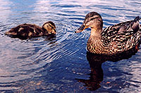 /images/133/2004-07-rocky-ducks03.jpg - #01777: duckling with mother duck at Sprague Lake … July 2004 -- Sprague Lake, Rocky Mountain National Park, Colorado
