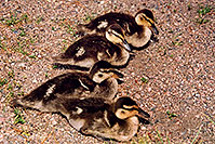 /images/133/2004-07-rocky-ducks06.jpg - #01780: 4 ducklings near a river by Sprague Lake … July 2004 -- Sprague Lake, Rocky Mountain National Park, Colorado