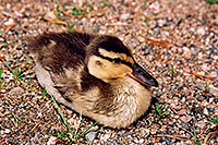 /images/133/2004-07-rocky-ducks07.jpg - #01781: duckling near a river by Sprague Lake … July 2004 -- Sprague Lake, Rocky Mountain National Park, Colorado