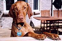 /images/133/2004-08-jack1.jpg - #01887: friendly Jack (Vizsla) in Cherry Creek … August 2004 -- Greenwood Village, Colorado