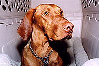 /images/133/2004-08-jack10.jpg - #01889: friendly Jack (Vizsla) in Cherry Creek … August 2004 -- Cherry Creek, Colorado