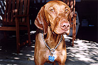 /images/133/2004-08-jack2.jpg - #01889: friendly Jack (Vizsla) in Cherry Creek … August 2004 -- Cherry Creek, Colorado