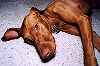 /images/133/2004-08-jack9.jpg - #01890: friendly Jack (Vizsla) in Cherry Creek … August 2004 -- Cherry Creek, Colorado