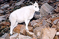 /images/133/2004-08-mountain-goats-lit3.jpg - #01914: little Mountain Goat at Mt Evans … August 2004 -- Mt Evans, Colorado