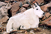 /images/133/2004-08-mountain-goats1.jpg - #01902: Mountain Goats at Mt Evans … August 2004 -- Mt Evans, Colorado