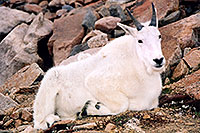 /images/133/2004-08-mountain-goats2.jpg - 01904: Mountain Goats at Mt Evans … August 2004 -- Mt Evans, Colorado