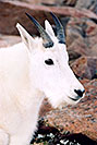 /images/133/2004-08-mountain-goats3-v.jpg - #01905: Mountain Goats at Mt Evans … August 2004 -- Mt Evans, Colorado