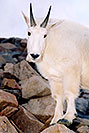 /images/133/2004-08-mountain-goats4-v.jpg - #01906: Mountain Goats at Mt Evans … August 2004 -- Mt Evans, Colorado