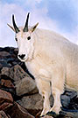 /images/133/2004-08-mountain-goats5-v.jpg - #01907: Mountain Goats at Mt Evans … August 2004 -- Mt Evans, Colorado