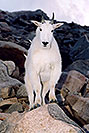 /images/133/2004-08-mountain-goats6-v.jpg - #01908: Mountain Goats at Mt Evans … August 2004 -- Mt Evans, Colorado